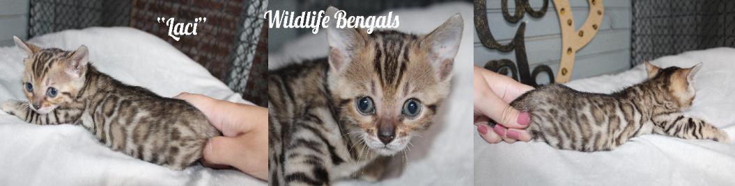 Kittens-Bengal Kittens Available in Louisiana